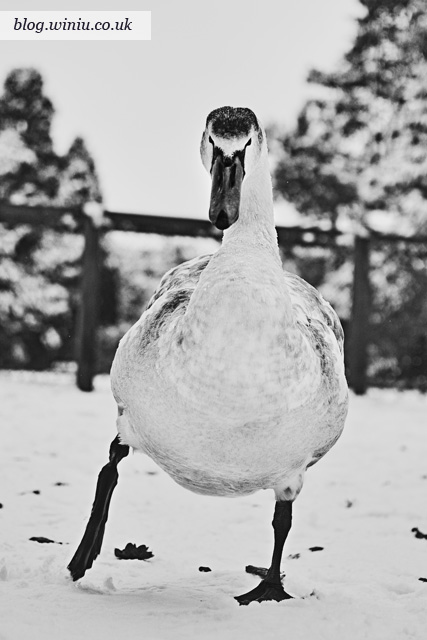 Southampton Common Park | December 2010 | Winter Snow | Swan